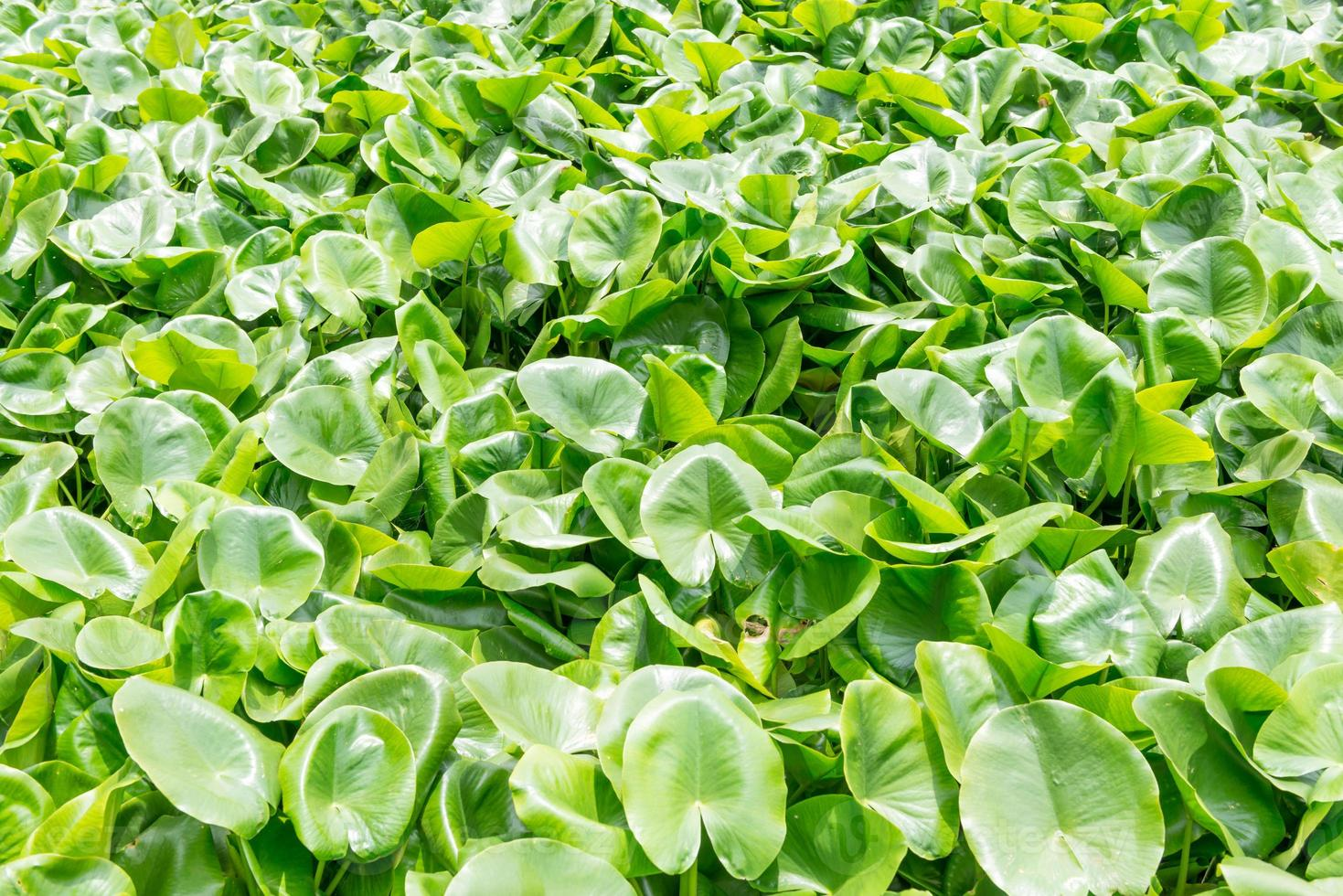 Eichhornia crassipes photo