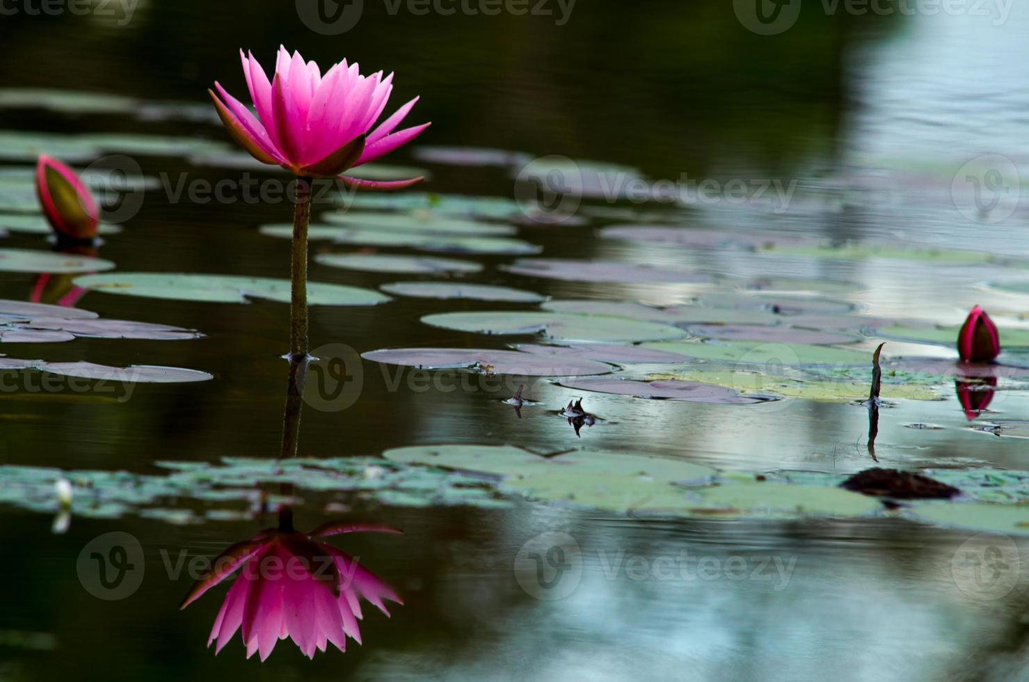 reflexo de flor de lótus rosa foto