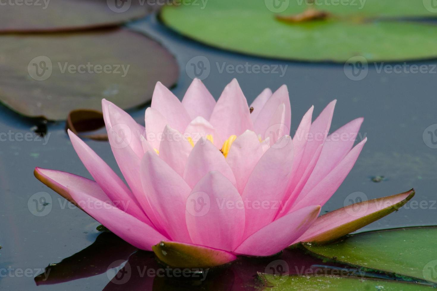 hermoso loto en estanque foto
