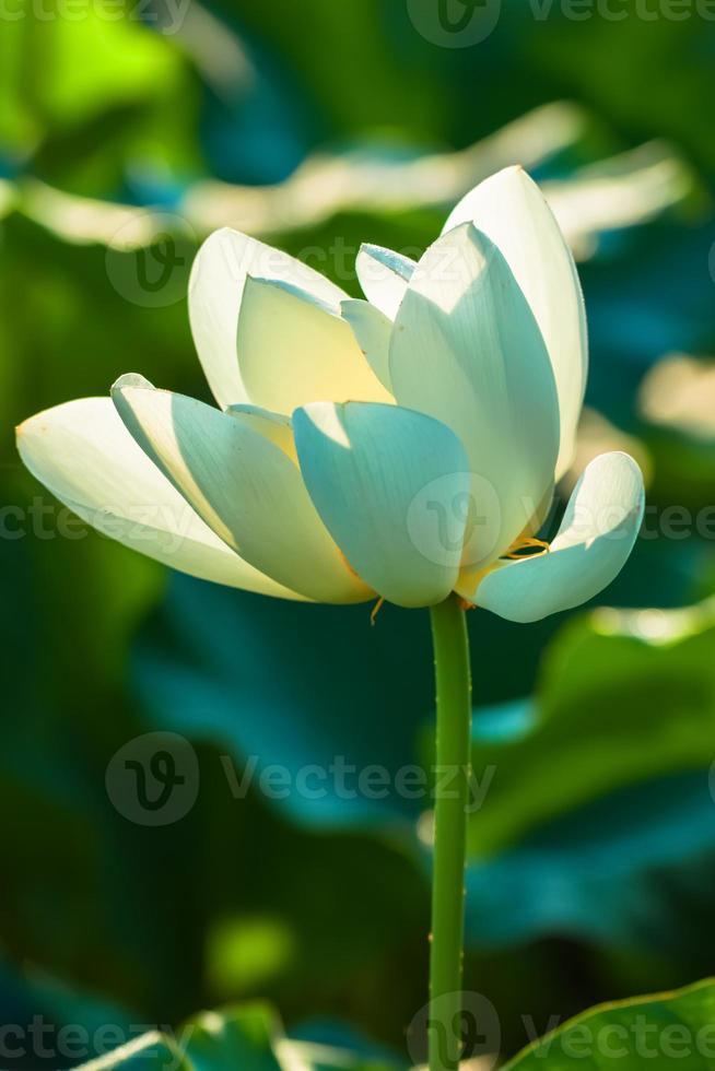 flor de loto blanco foto