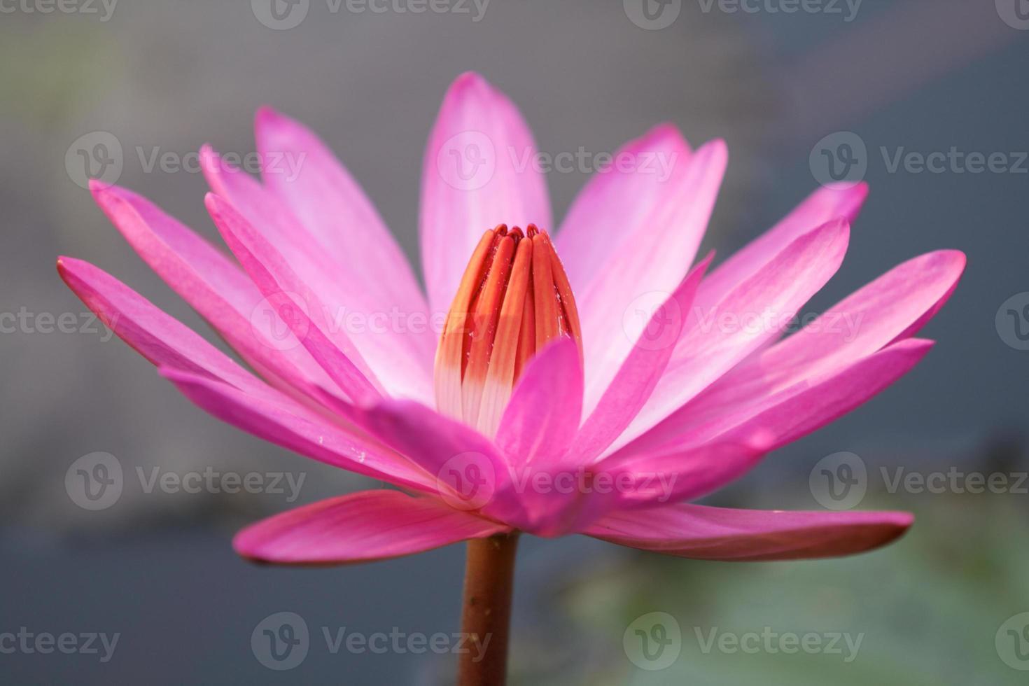 flor de loto rosa foto