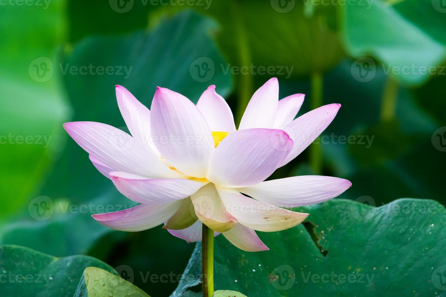 Light pink lotus flower photo