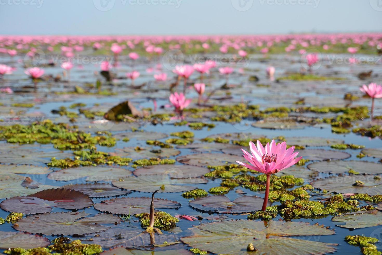 lótus rosa no lago foto
