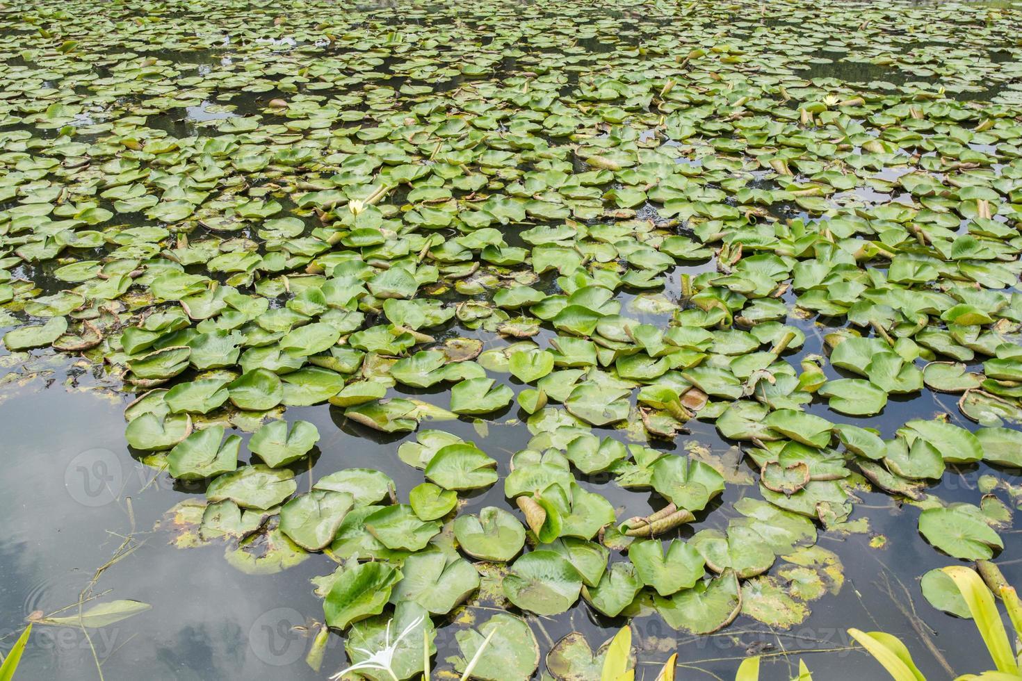 lotus lagoon in thailand photo