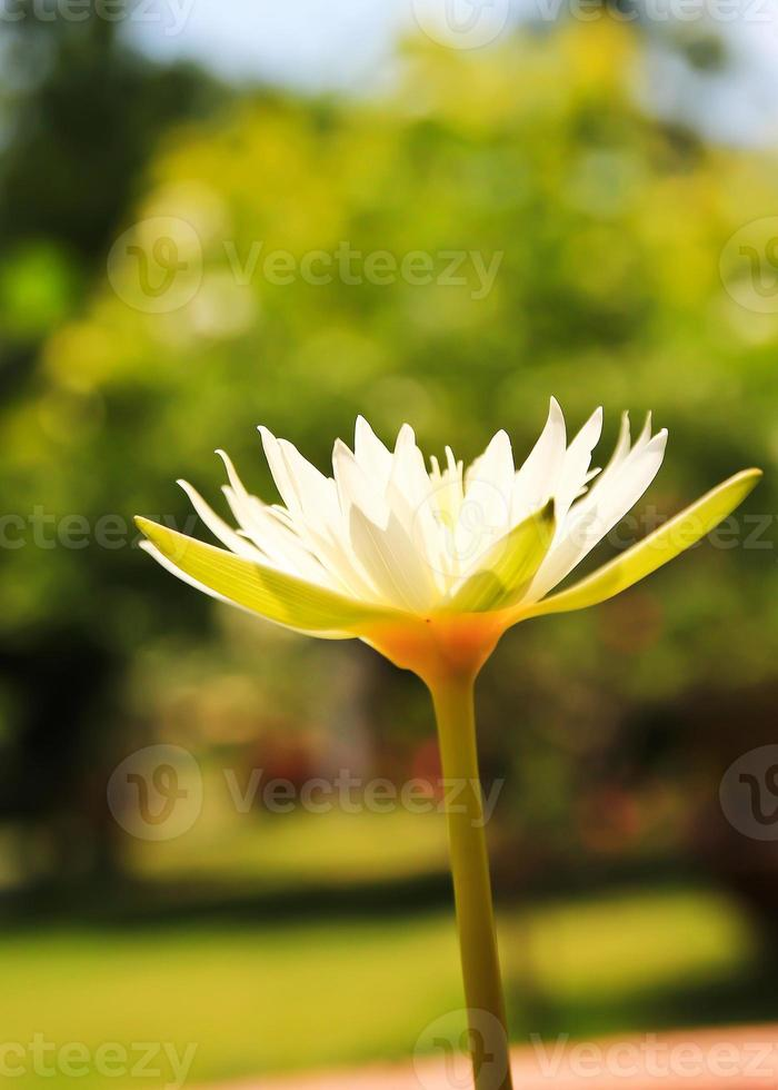 one lotus in the park photo