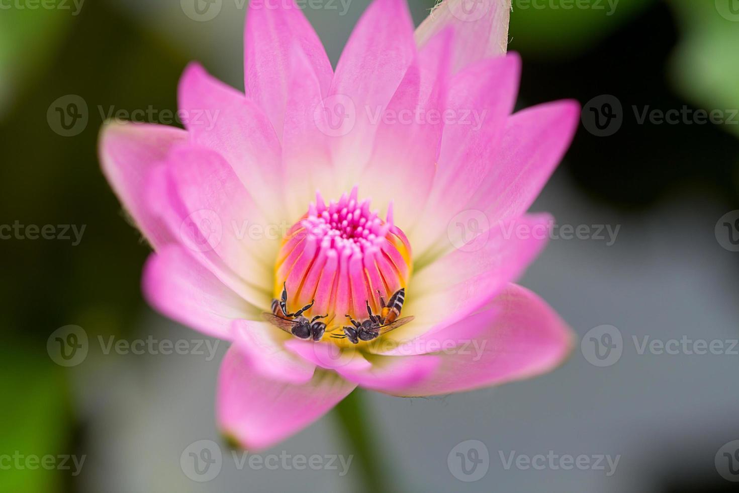abelhinha em lótus rosa foto