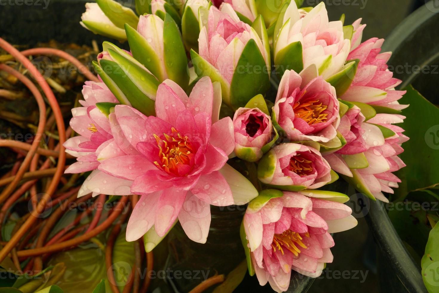 Bouquet of pink lotus flower. photo