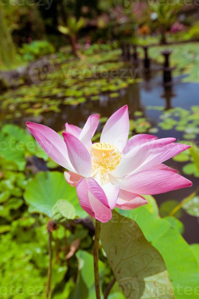 loto rosa en el estanque foto