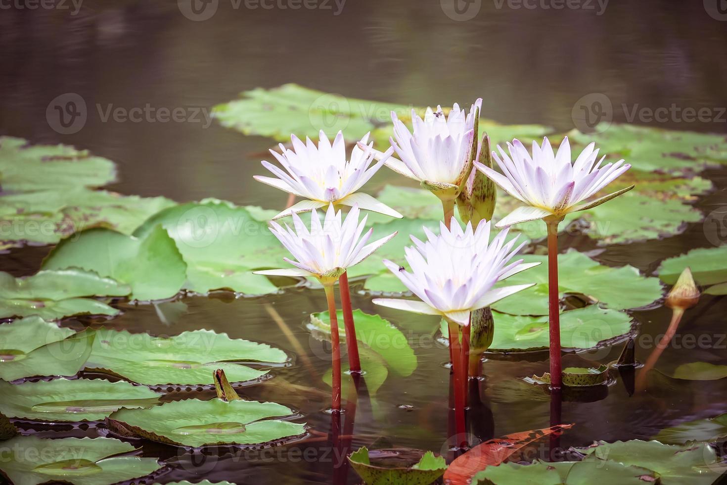 beautiful pink waterlily or lotus flower photo