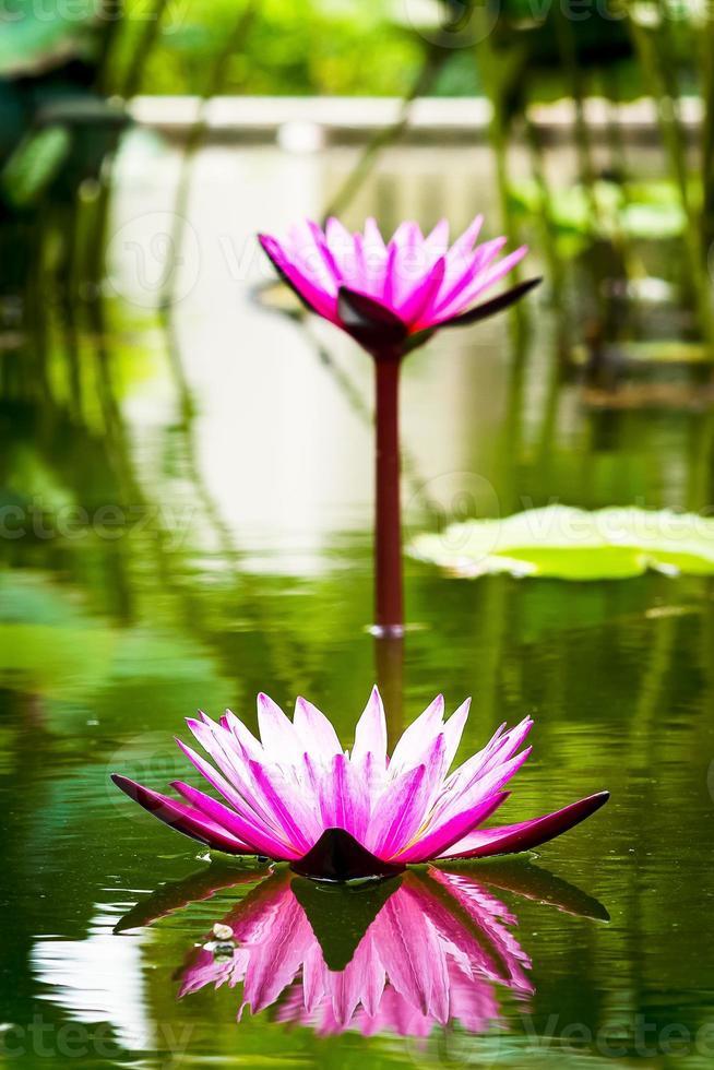 flor de lótus bonita na lagoa foto