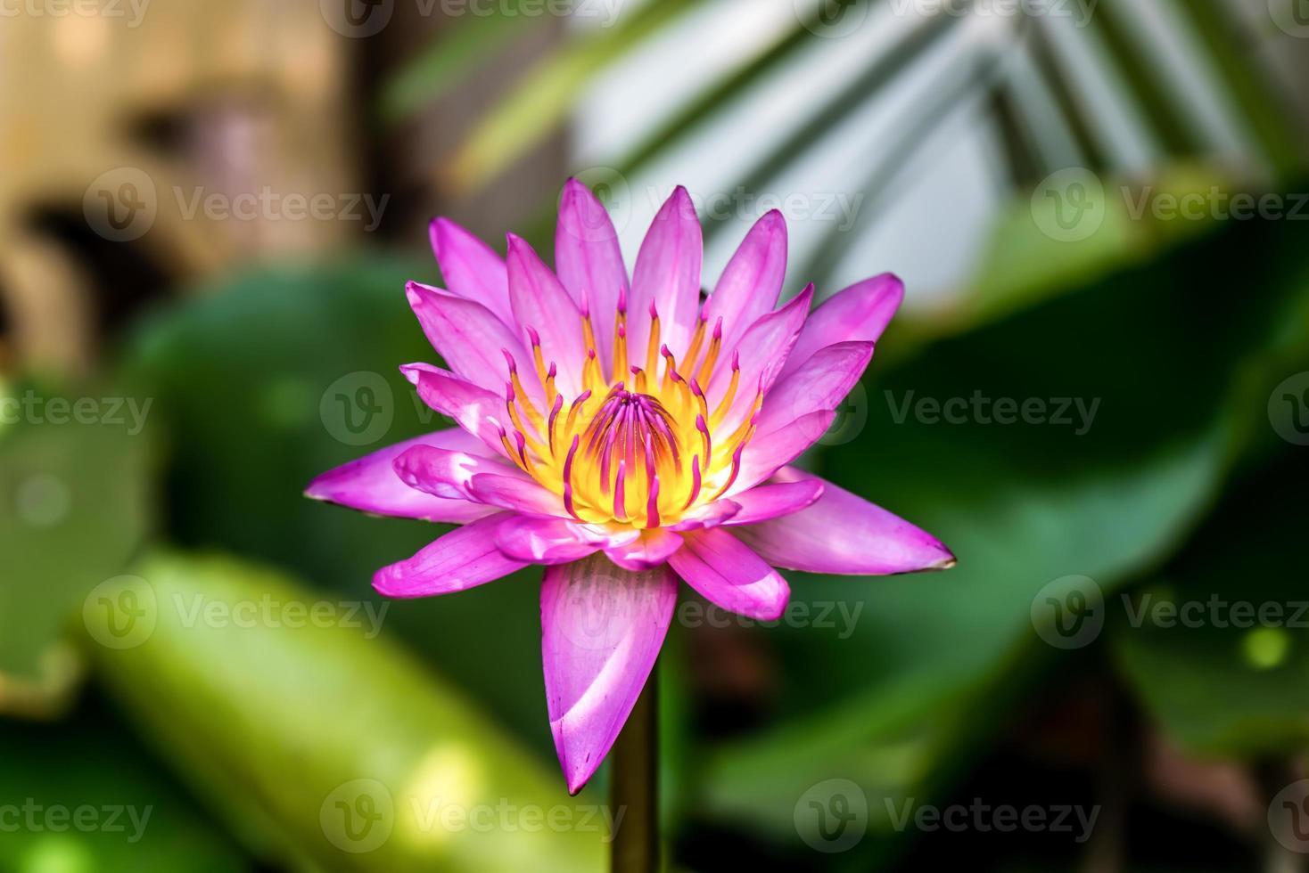 cerca de la flor de loto de color amarillo-rosa. foto