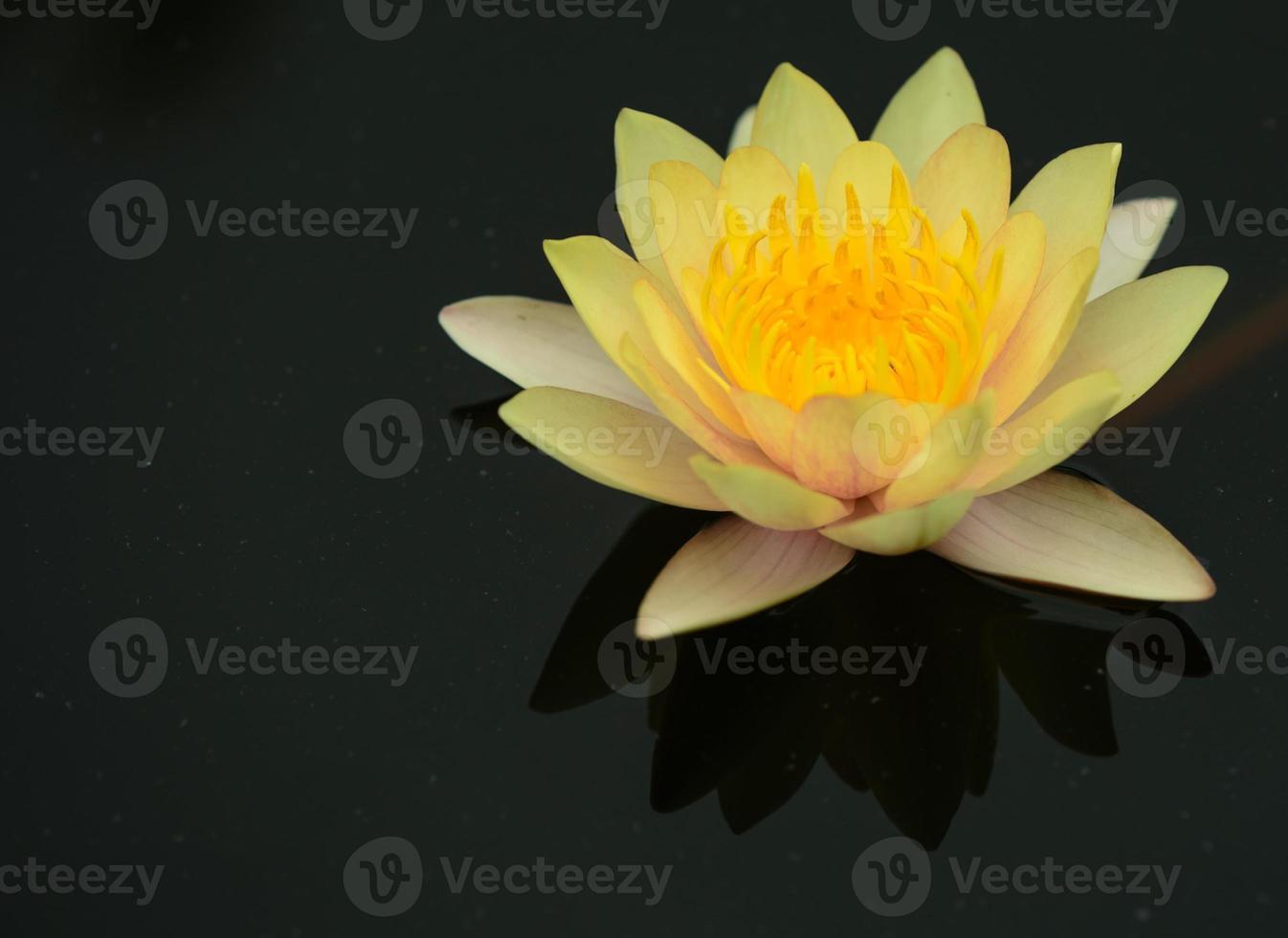 flor de pólen amarela de lótus amarela com folha verde foto