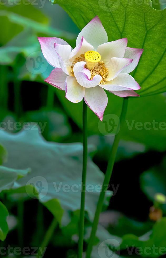 fresh lotus in the pond photo