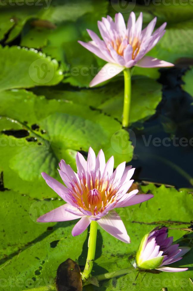 Pink lotus flowers on nature. photo