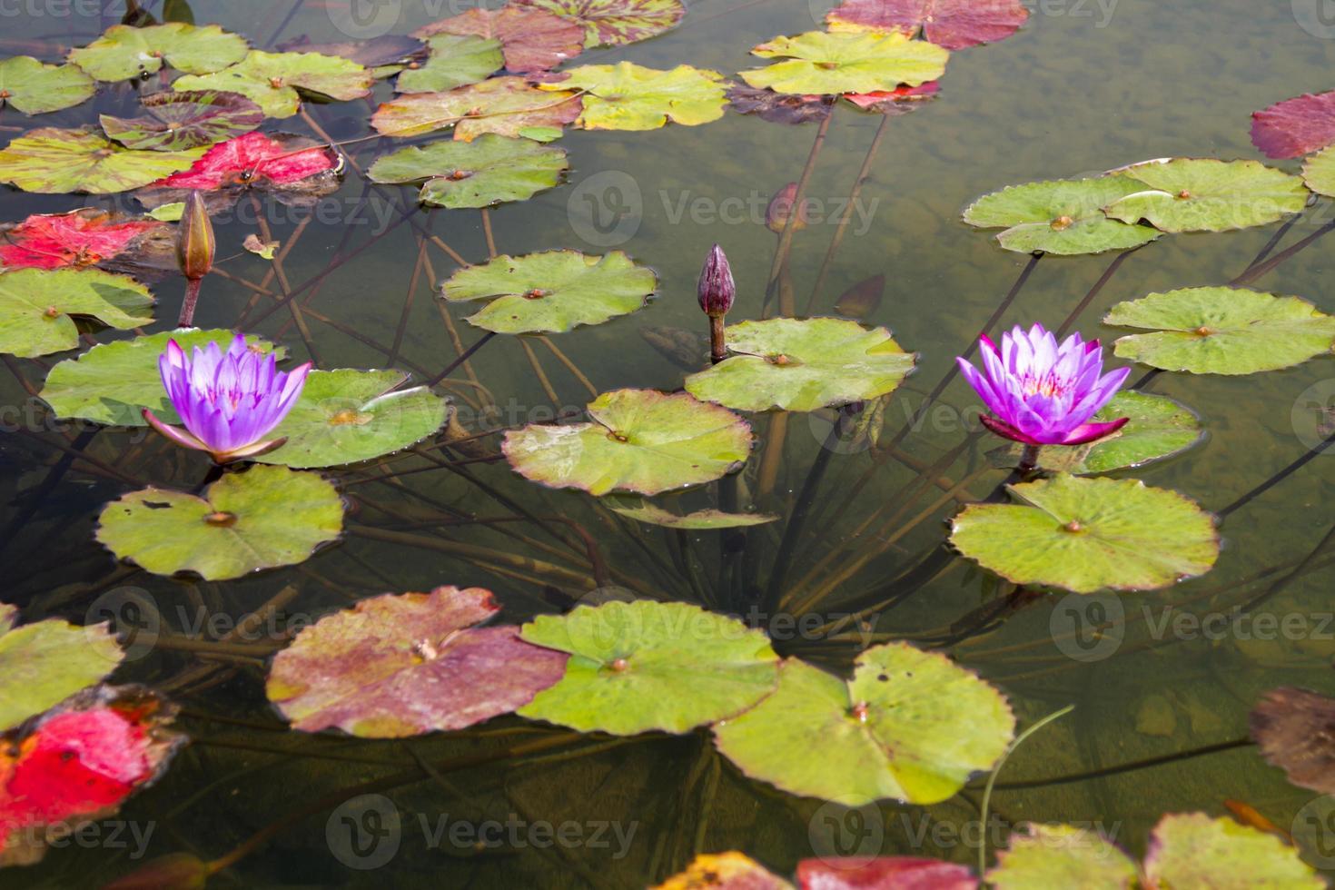 hermosa foto de loto lila.