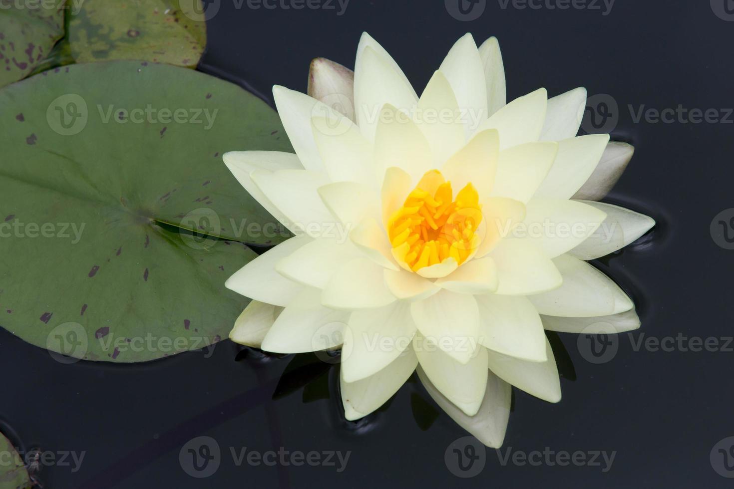bela flor de nenúfar ou flor de lótus foto