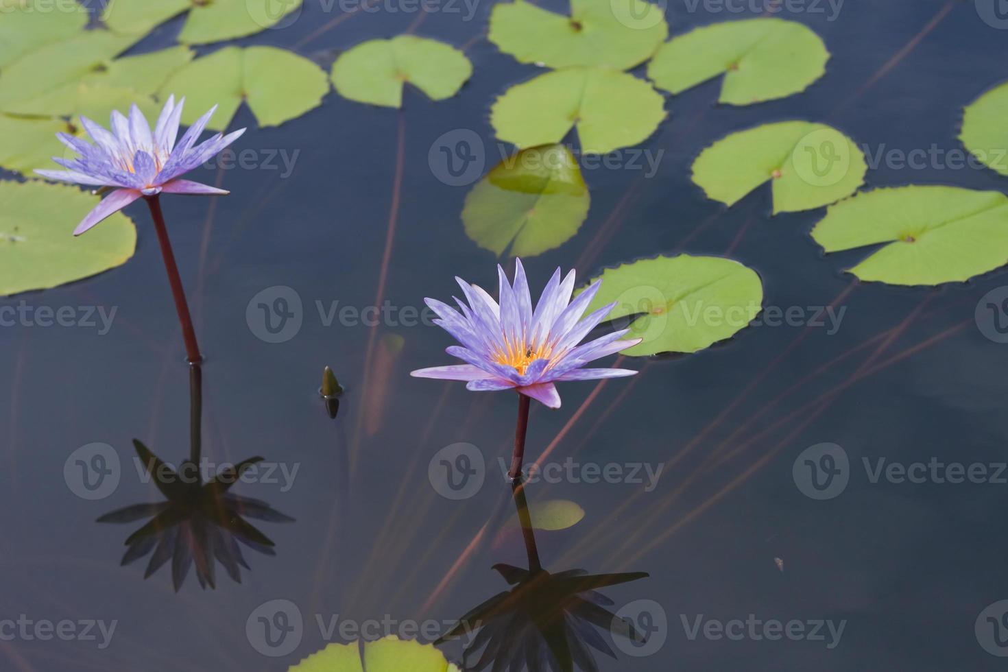 bela flor de nenúfar ou flor de lótus. foto