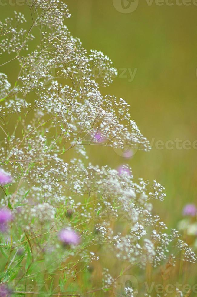 Baby's Breath in the Thsitle photo