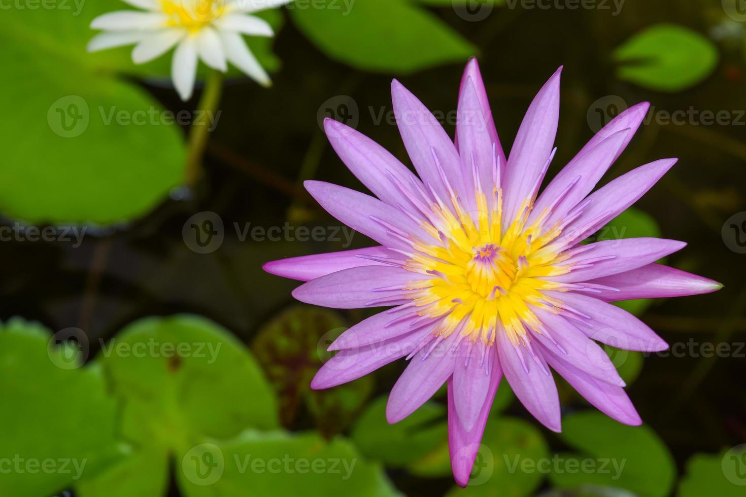 purple lotus flower photo