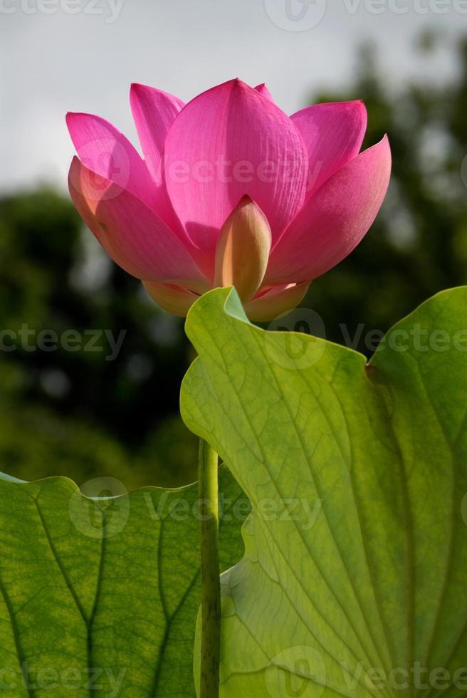 Pink Lotus Blooming photo