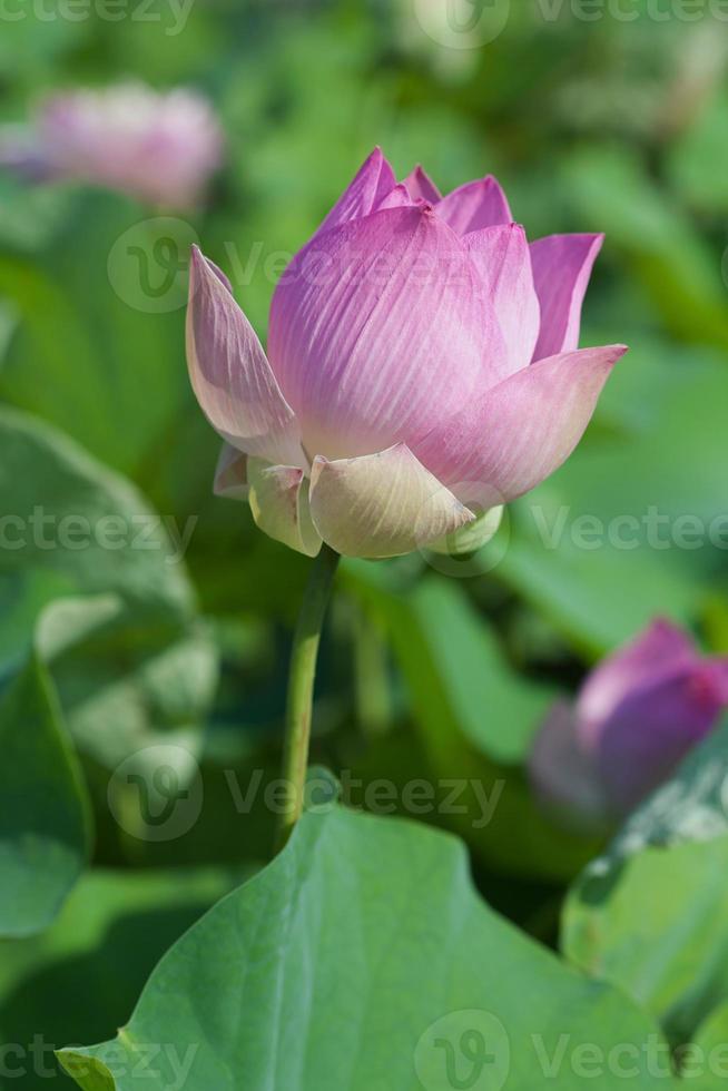 as flores de lótus foto