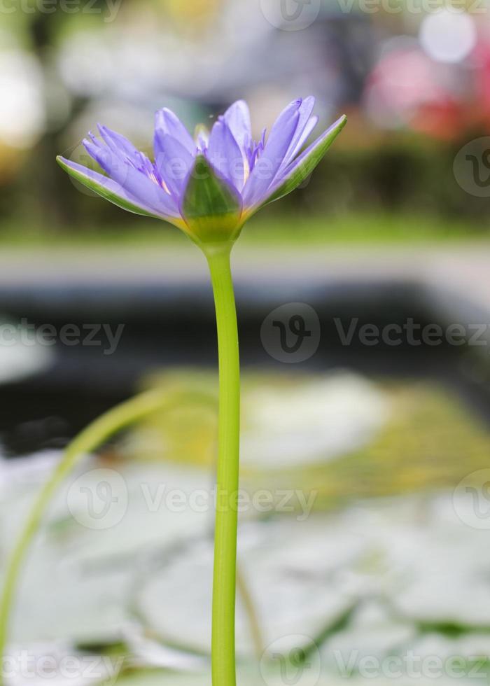 Nenúfar roxo florescendo em um lago foto