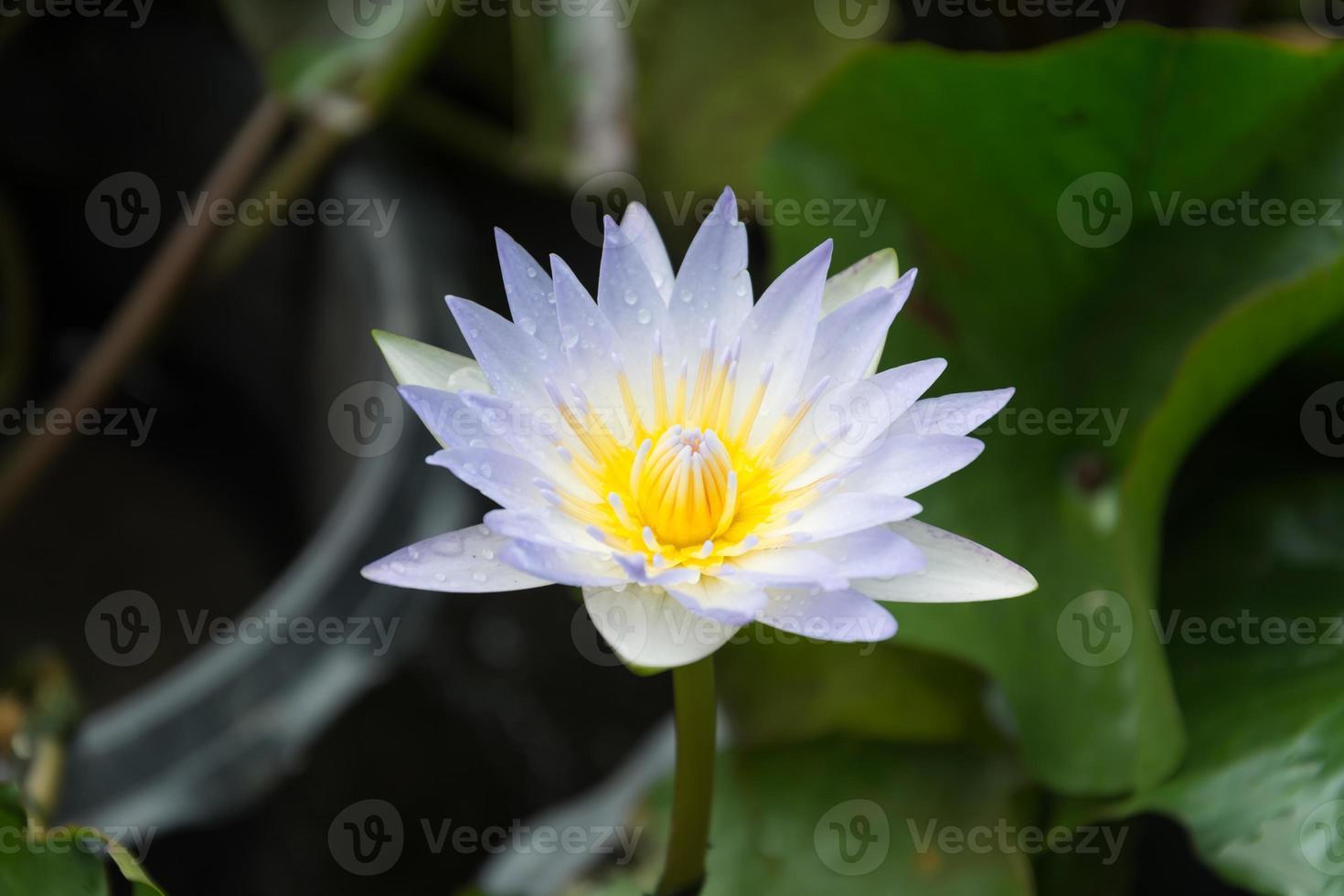 Beautiful lotus in the lotus garden photo