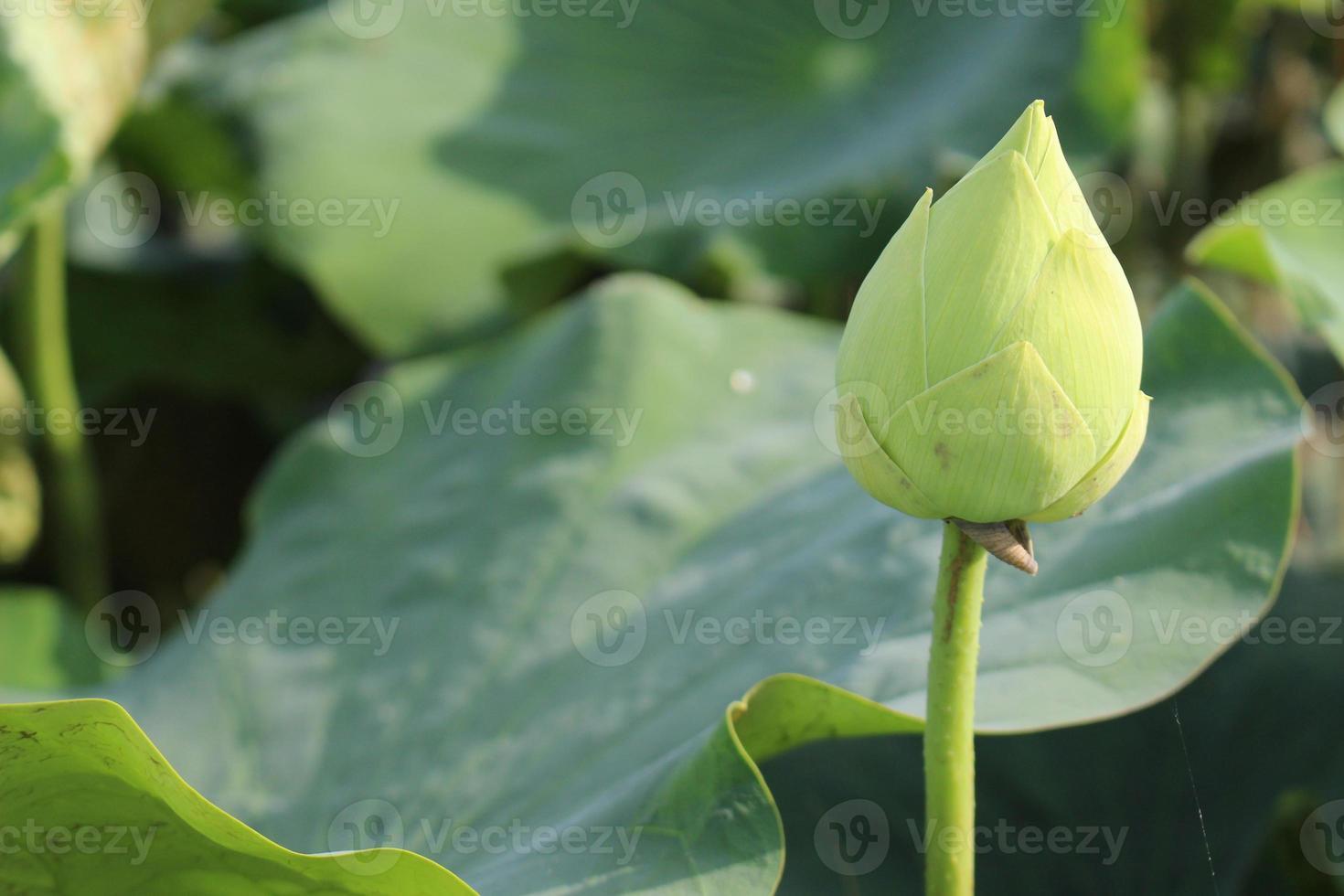 cerca de flor de loto foto