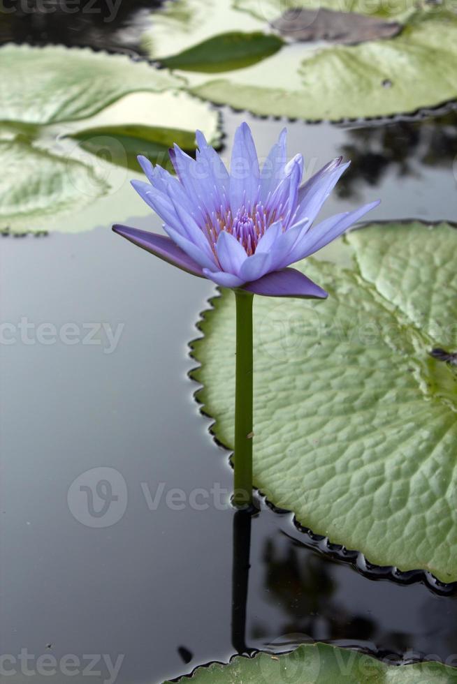 Lotus Flowers photo