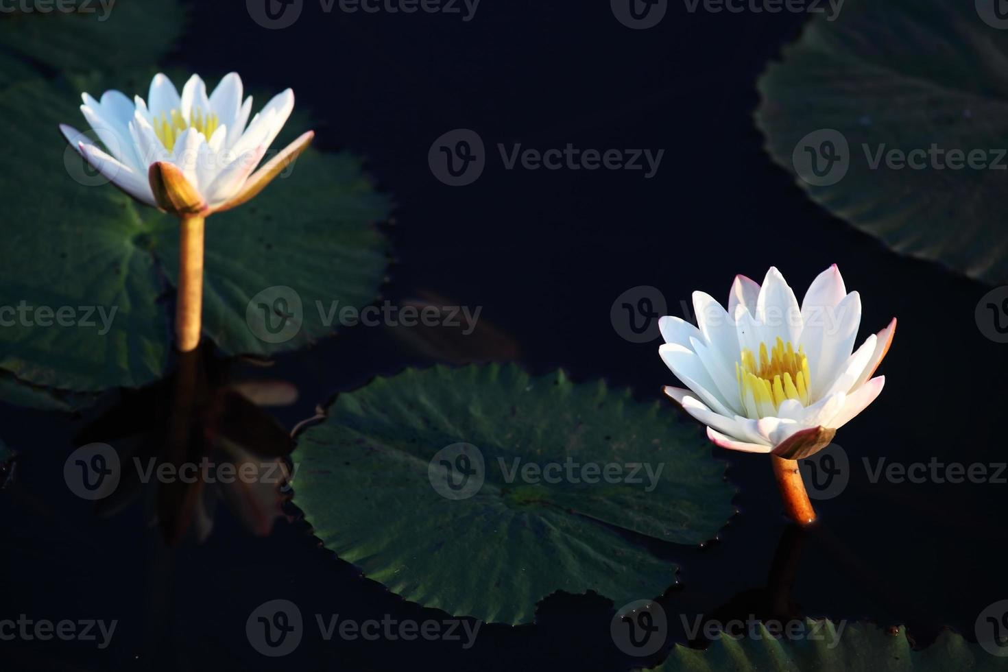 flor de lótus bonita foto