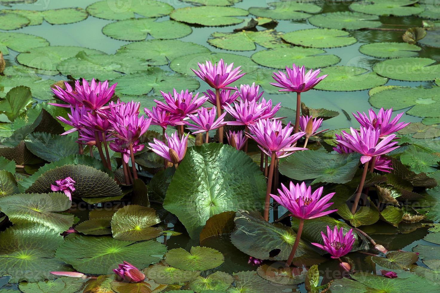 flor de lótus vermelha, tailândia foto