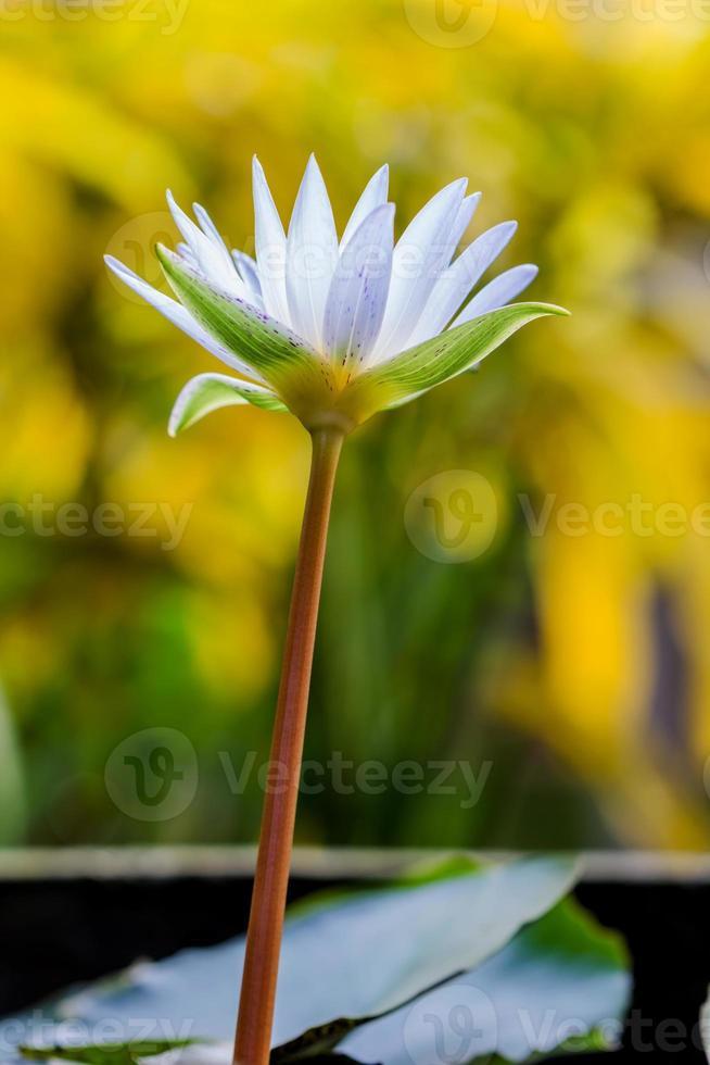 hermosa flor de loto blanca foto