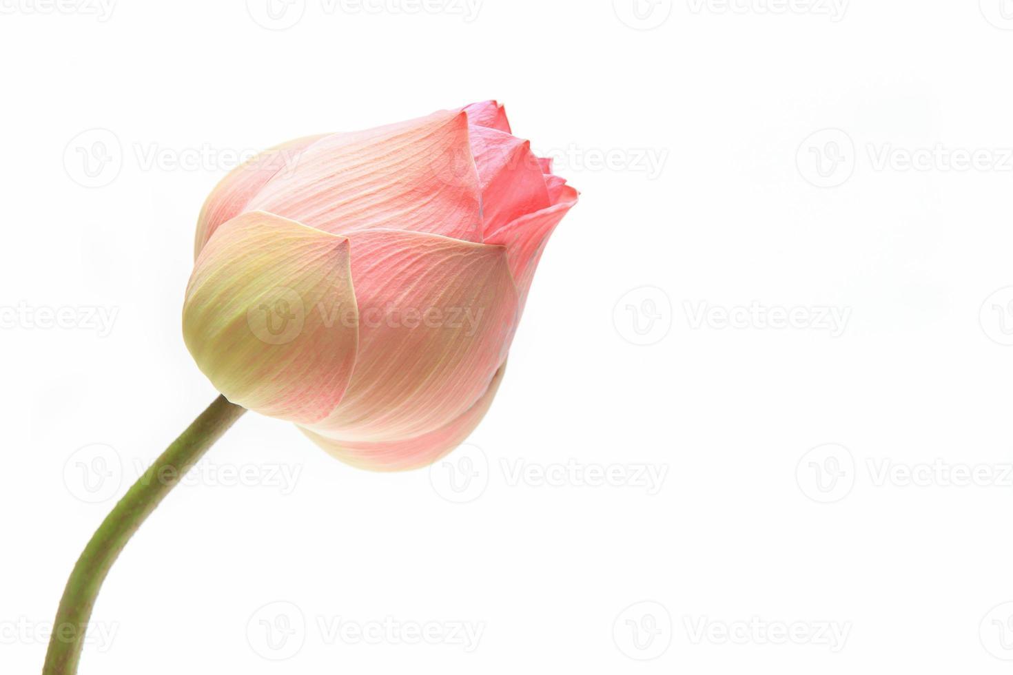 flor de botão de lótus rosa foto
