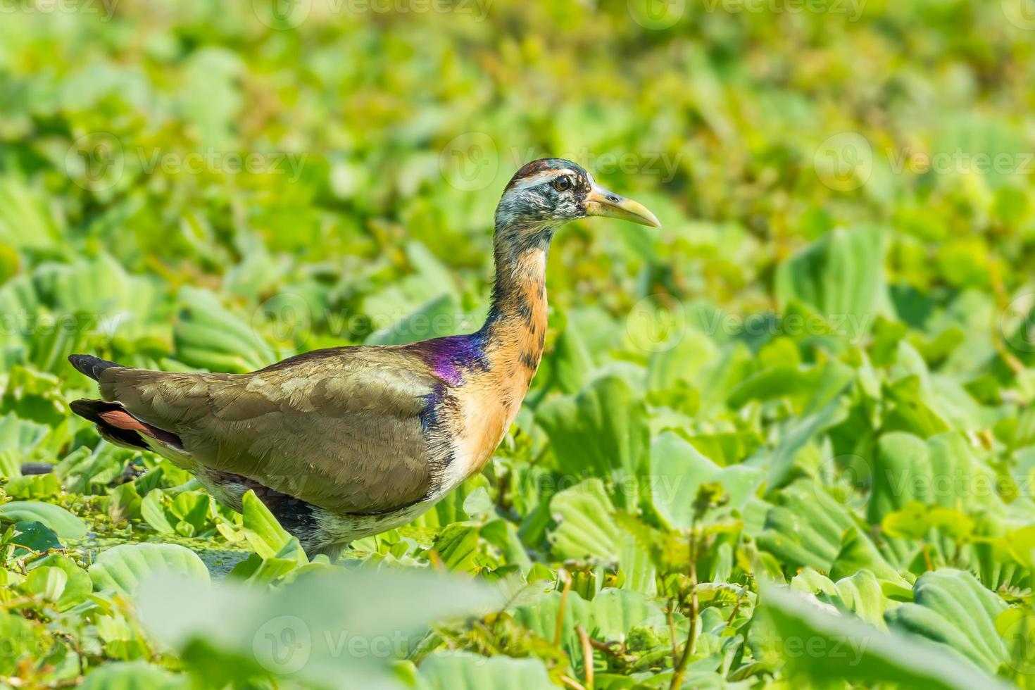 Young Bronze-winged Jacana photo