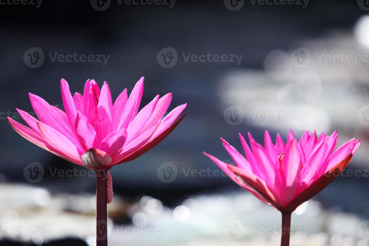 flor de loto que florece en el estanque foto