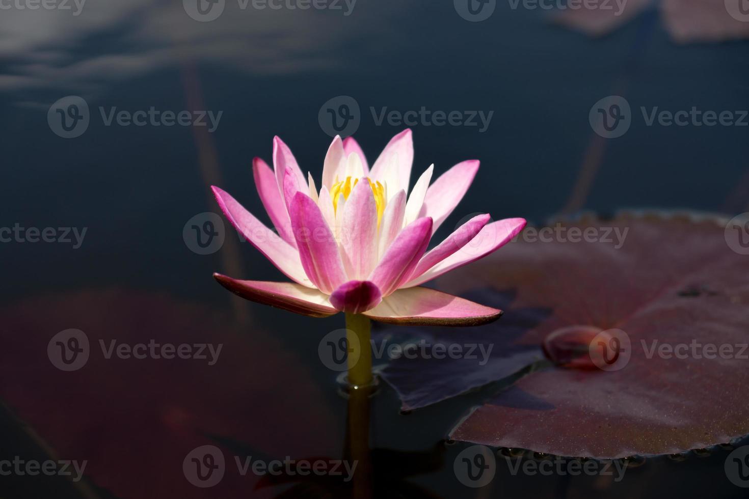 Pink waterlily flower. (Lotus) photo