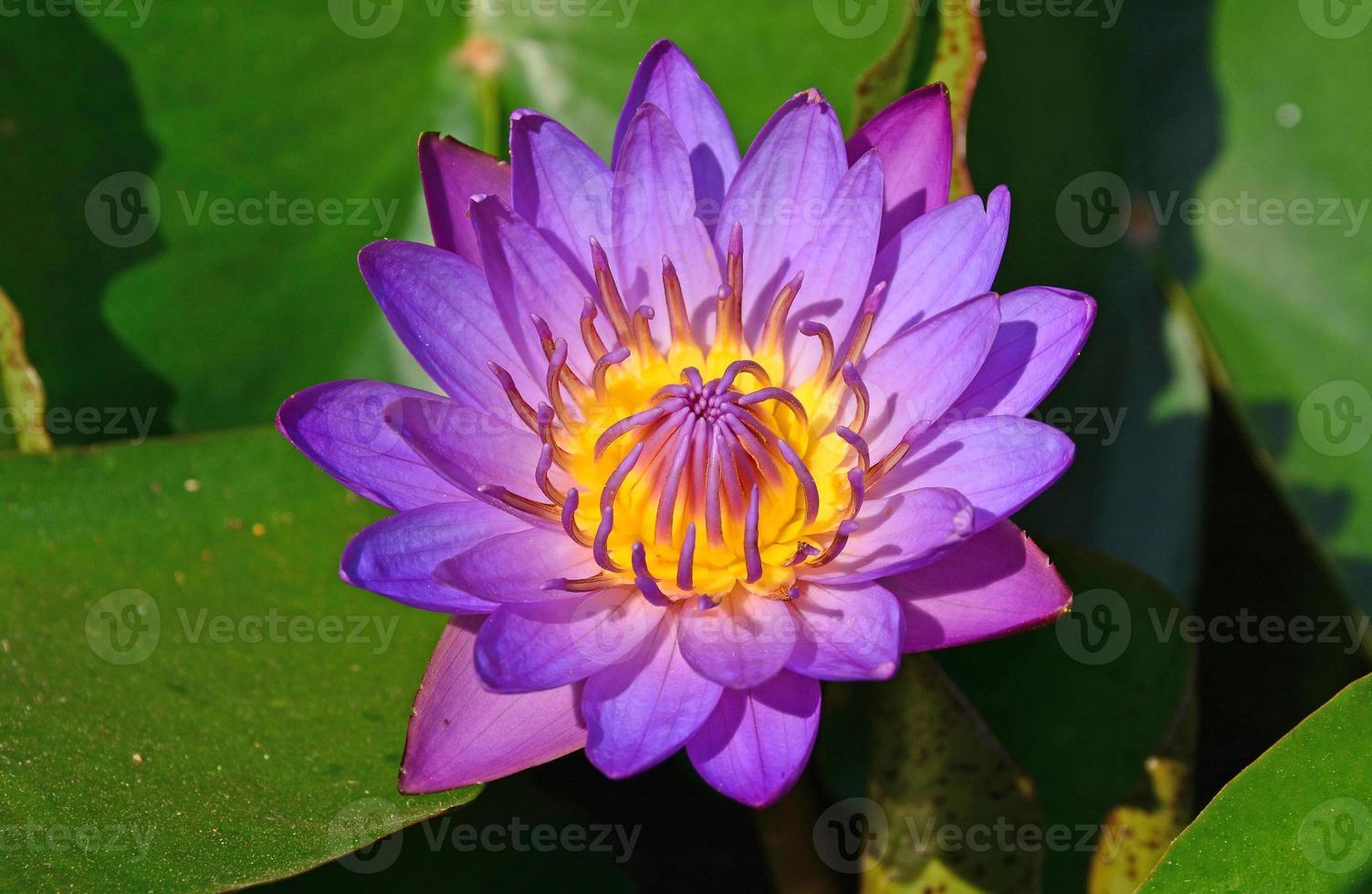 loto púrpura en el estanque foto