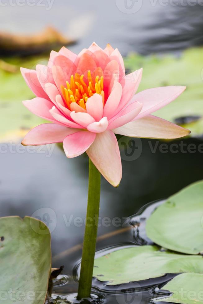 Beautiful waterlily or lotus flower in pond photo