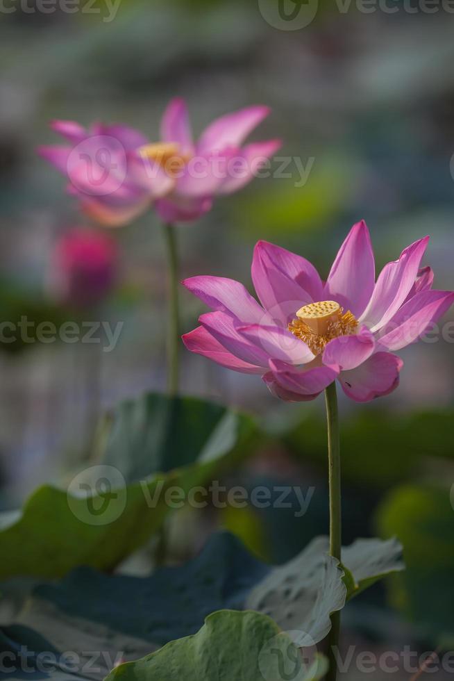 hermosa flor de loto (hoa sen) en flor foto