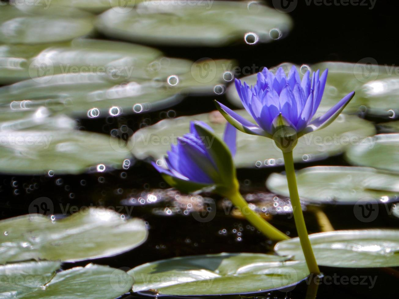 Blue-yellow lotus bloom like oil paint . photo