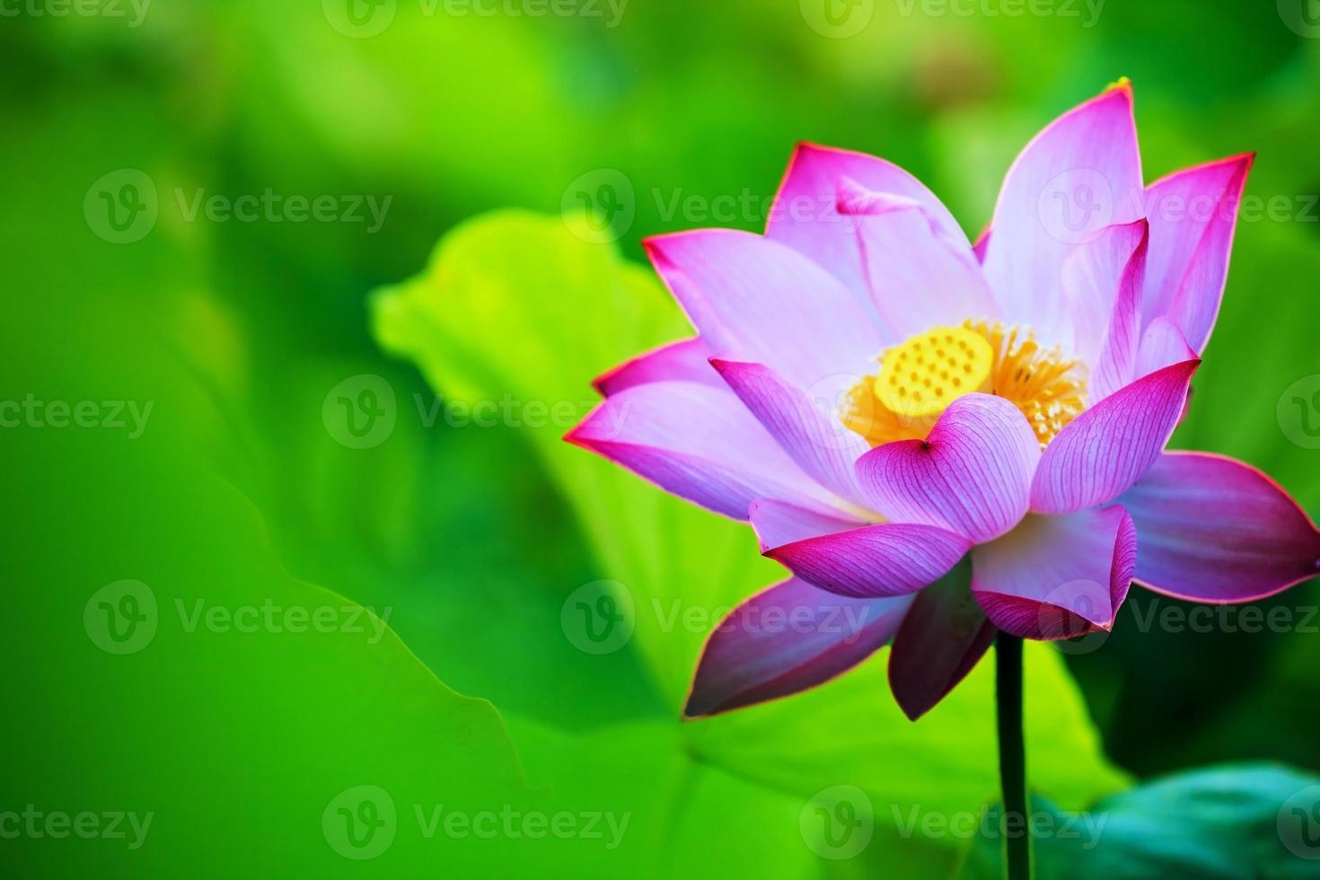 bela flor de nenúfar ou flor de lótus rosa no lago foto