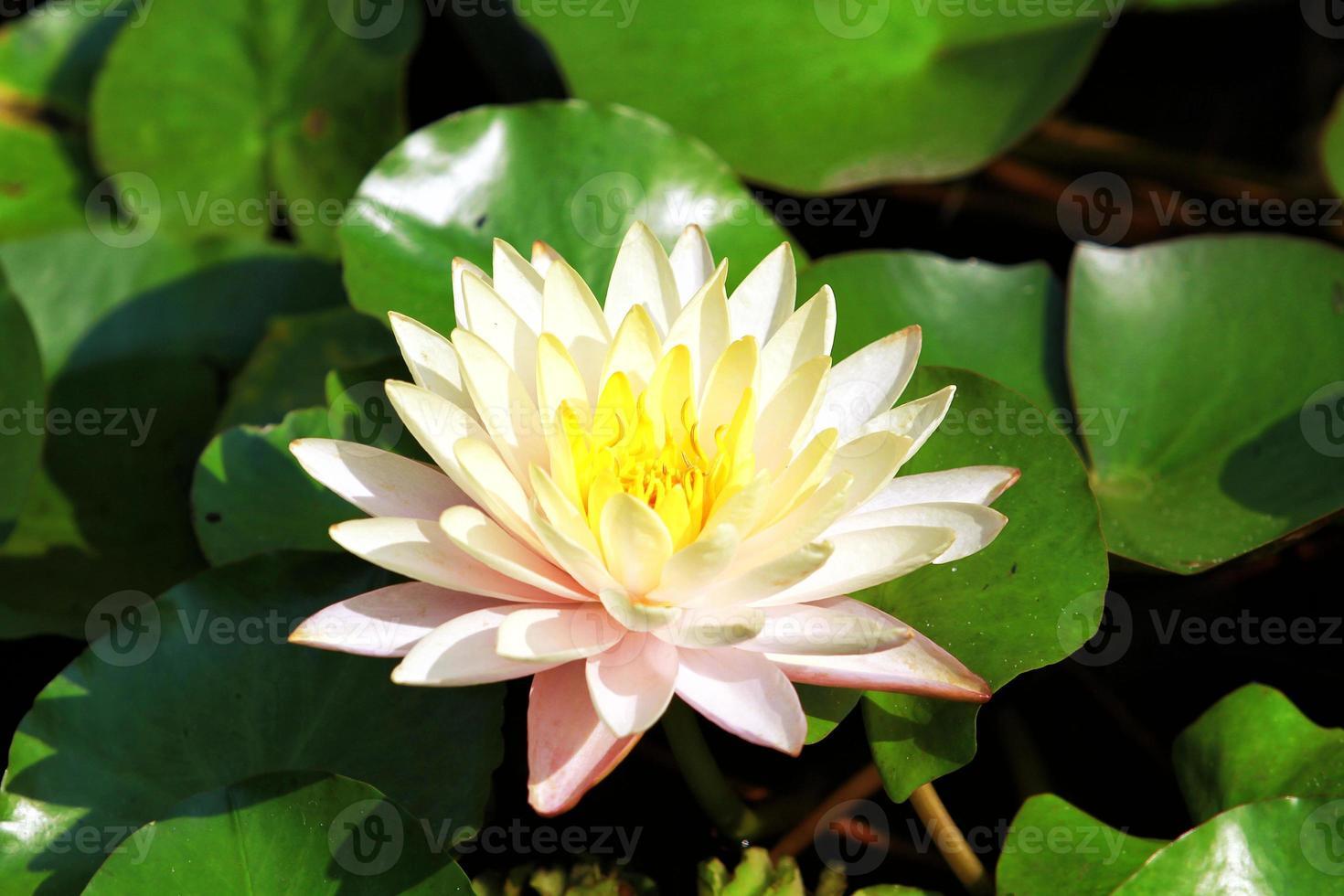 esta hermosa flor de loto o nenúfar foto