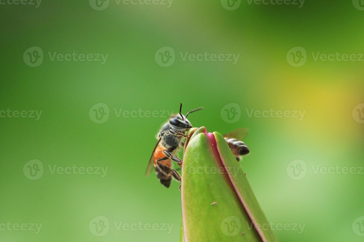 macro de cerca las abejas en el loto. foto
