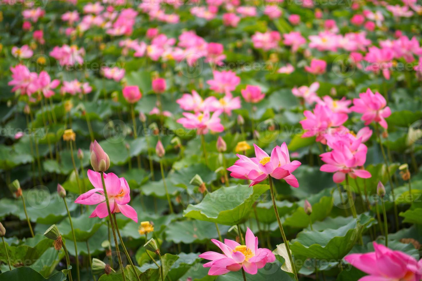 field of blooming beautiful lotus flowers photo