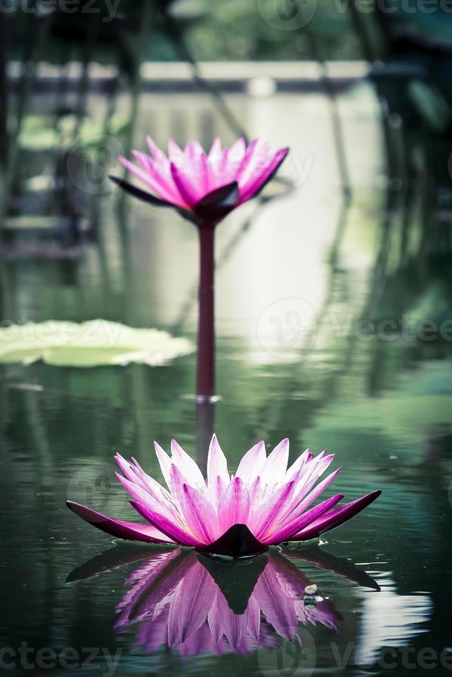 Beautiful lotus flower in the pond photo