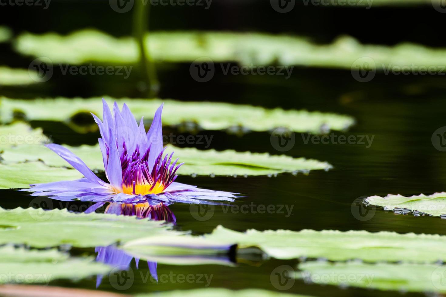 Marchitez púrpura loto o flor de nenúfar en el estanque foto