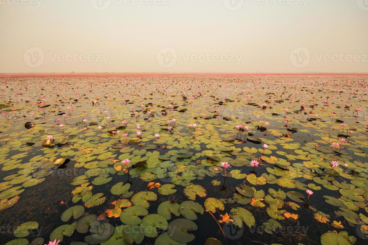 Loto rojo en el estanque de kumphawapi, udonthani, Tailandia foto