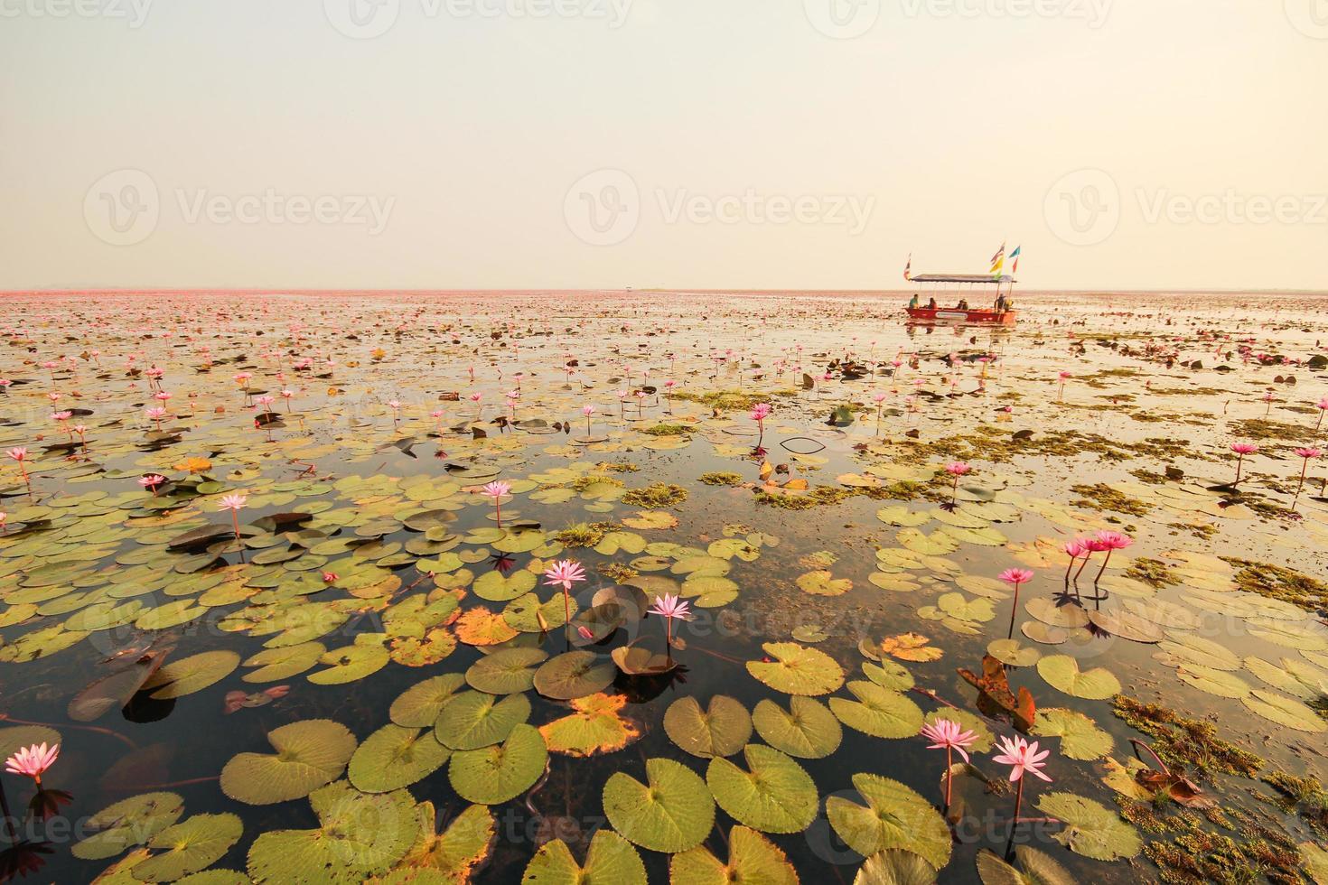 lótus vermelho na lagoa em kumphawapi, udonthani, tailândia foto