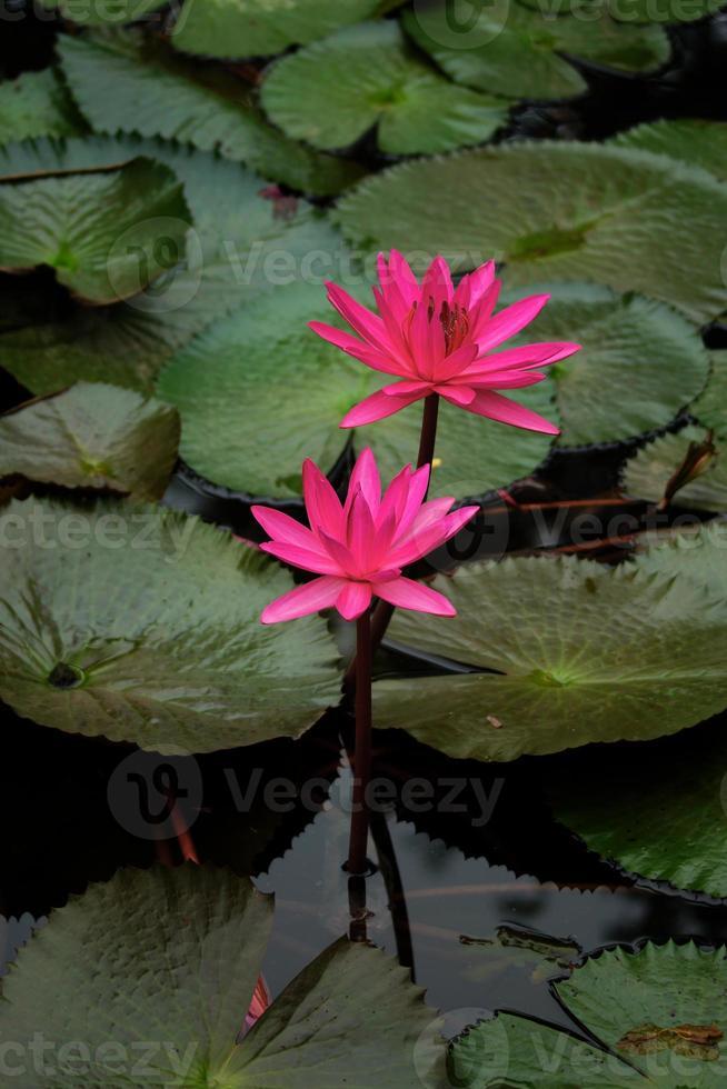 flores de loto rosa o flores de lirio de agua que florecen en el estanque foto
