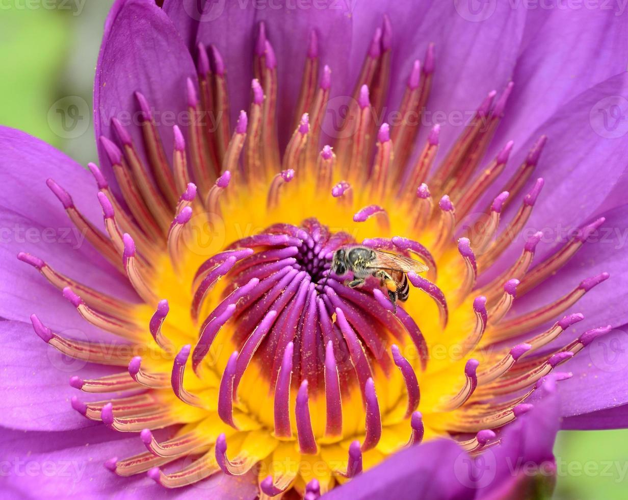 lindas flores de lótus roxas expõem detalhes de pólen para a abelha foto